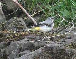Grey Wagtail (photographed in Upper Teessdale)