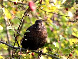 Blackbird enjoying Hawthorn berries