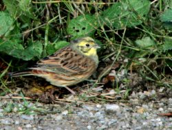 Yellowhammer - by Jonathan Seamer