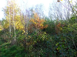 Silver Birch with Autumn Colours