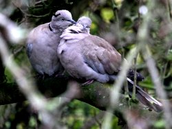 Collared Doves mutually preening