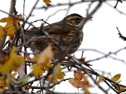 Redwing near the Butterfly Path