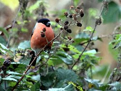 Bullfinch adds a nice splash of colour to the grey November light