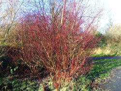 The bright red colours of Dogwood, near the playground