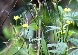 Nipplewort in flower along Tang Hall Beck