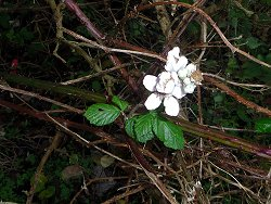 A Bramble in flower - in December! And a healthy looking bloom as well!