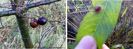 Marble Gall (left) and possible Bean Gall (right)