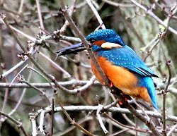 Kingfisher (taken in December 2011)
