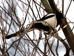 Magpie in winter light