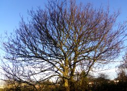 One of our bare mature trees in sunlight and with blue sky