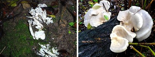 Paper-like fungus (left) and bracket fungus (right)