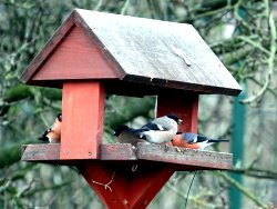 Four Bullfinches on bird table at the Environment Centre