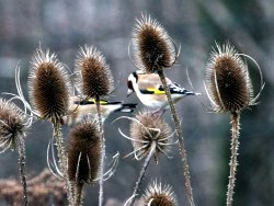 Goldfinches on Teazles at the Environment Centre