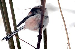 Long-tailed Tit foraging in snow