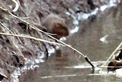 Distant view of Water Vole at Tang Hall Beck