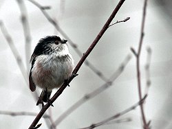 Long-tailed Tit on the Bund Path