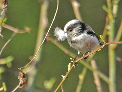 Long-tailed Tit gathering nesting material