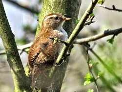 Wren - one of a pair by Tang Hall Beck