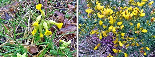 Left: Cowslips. Right: Gorse, near the Play Area