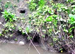 Water Vole burrow entrances in Tang Hall Beck