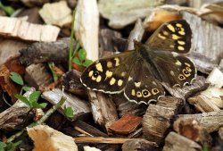Speckled Wood butterfly - on the 'Butterfly Path' last Friday