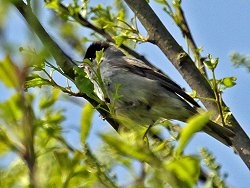 Blackcap (male) by Tang Hall Beck