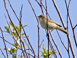 Willow Warbler - near the Environment Centre