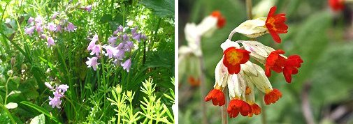 Colours all wrong! Left: pink Bluebells Right: Orange Cowslips