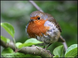 A very friendly and approachable Robin!