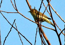 Chiffchaff seen today