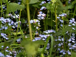 Forget-me-nots near the Play Ground