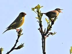 Greenfinch (left) and a singing Wren