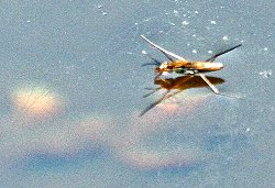 Water Boatman on the Environment Centre Pond
