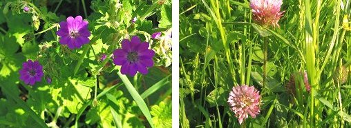 (Left) PyreneanCranesbill (Right) Pink Clover