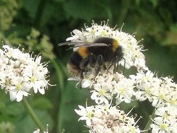 Buff-tailed Bumblebee on Cow Parsley
