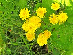 Is this one of the Hawkweed species?