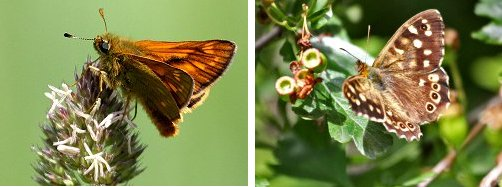 Large Skipper (left) and Speckled Wood (right) butterflies