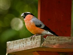 Male Bullfinch on the bird table at the Environment Centre