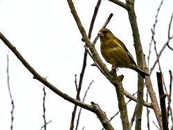 Greenfinch by Osbaldwick Beck