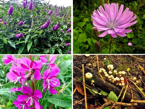 Top left, clockwise: Buddlea; un ID'd flower, tiny fungi near Kingfisher watchpoint, Bee sp. on Red Campion
