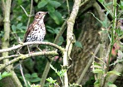 Song Thrush at Osbaldwick Beck