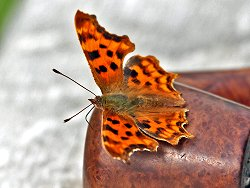 Comma butterfly enjoying the warmth from Ian's pipe!