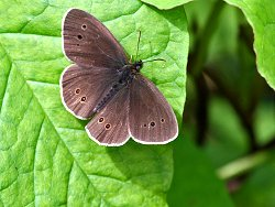Ringlet butterfly - one of many seen today