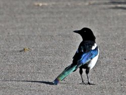 Magpie.. a familiar sight at St Nicks