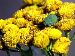 Shield bug species on Tansy