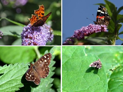 From top left, clockwise: Comma Butterfly on Buddleia, Red Admiral on Buddlea, Micro Moth sp. (one of 500 species of micro moths found in Yorkshire) Speckled Wood Butterfly.