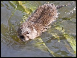 Water Vole in Tang Hall Beck, near the Sluice Bridge.