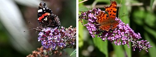 Red Admiral (left) and Comma (right) butterflies