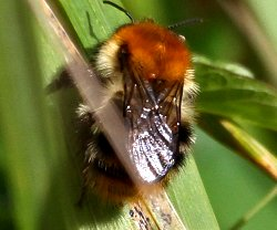 Carder Bee or Tree Bumblebee