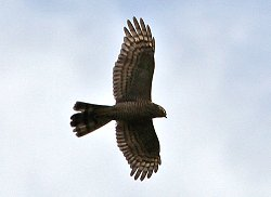 Sparrowhawk flying over the Dragon Stones